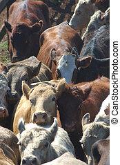 cattle in race