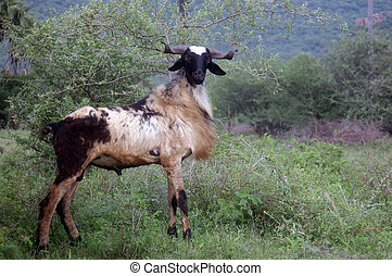 Billy goat - male goat near acacia tree, Tamil Nadu, South...