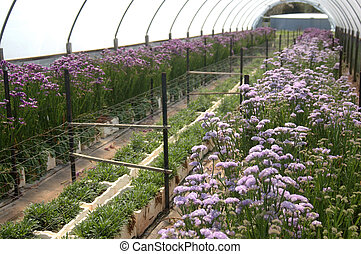 flowers in hothouse - Rows of flowers growing in commercial...