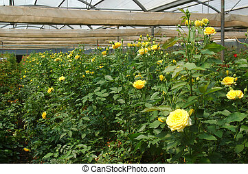 roses in hothouse - Rows of yellow roses growing in...