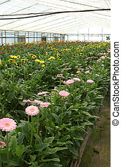gerberas in hothouse - Rows of gerberas growing in...