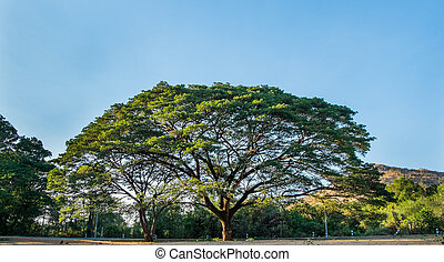 The giant mimosa tree in thailand