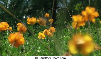 Spring Meadow Globeflowers - Spring green meadow with orange...