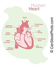 Chart of human heart - Chart of pink human heart with signed...