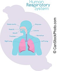 Whats inside human respiratory system - White chart with...
