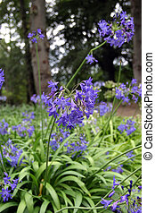 Blue Agapanthus also known as African lily. A perennial...