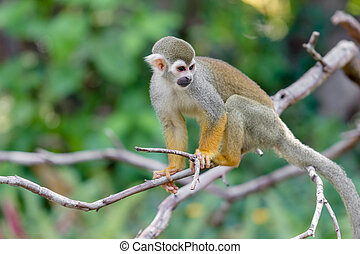Squirrel Monkey small