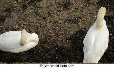 couple of mute swans - couple of white mute swans resting on...