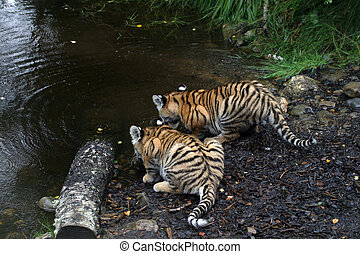 Pair of Amur Tiger Cubs - Panthera tigris altaica - Pair of...