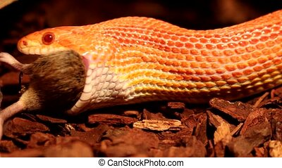 Snake eats a brown Mouse
