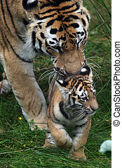 Amur Tiger Cub and Parent - Panthera tigris altaica