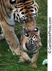 Amur Tiger Cub and Parent - Panthera tigris altaica