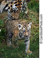 Amur Tiger Cub and Parent - Pantera tigris altaica