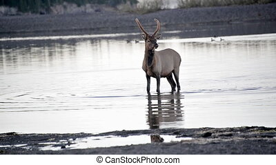 Elk Walking in Water - Elk walking through water in...