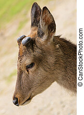 Head shot of a buck deer with new antlers regrowing in...