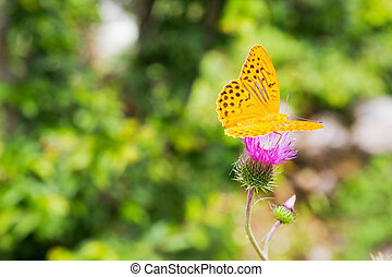 Silver-washed Fritillary Argynnis paphia on a thistle