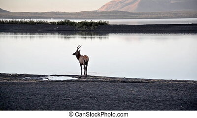 Elk and Yellowstone Lake - Elk on the shore of Yellowstone...