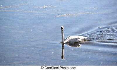 Trumpeter Swans Passing By - Three Trumpeter Swans passing...