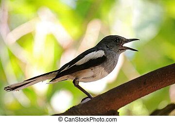 cuerpo, (copsychus, urraca, pájaro, negro, saularis),...