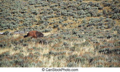 Bison Walking By - One bison in Yellowstone National Park