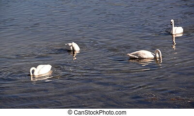Trumpeter Swan Group - Group of Trumpeter Swans in...
