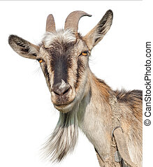 Goat isolated on a white background. Transparent PNG file...