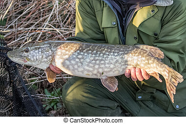 Northern Pike (Esox lucius) - Fisherman holding a nine pound...