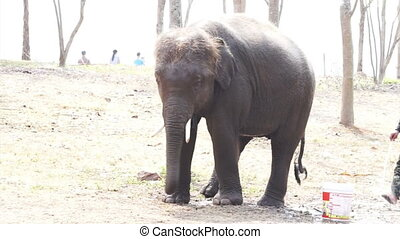 calf, small elephant bathing from hose