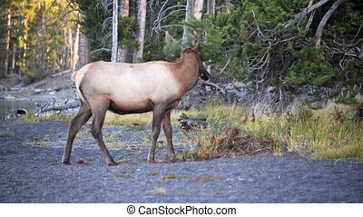 Young Elk in Yellowstone - Young Elk early in the morning in...