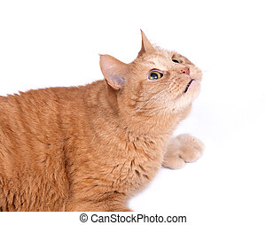 Red fat cat on white background - Red fat cat separated on...