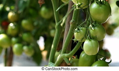 Red and green tomatoes on the vine Agricultural farm for...