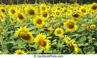 Full meadow of Sunflower field in summer