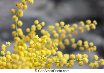 southern plant mimosa - southern plant as a spring bouquet...