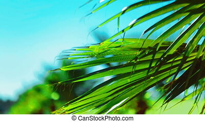 Palm leaf sways in the wind - Video 1920x1080 - Palm leaf...
