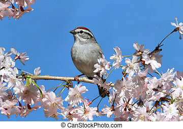 Chipping Sparrow With Cherry Blossoms - Chipping Sparrow...