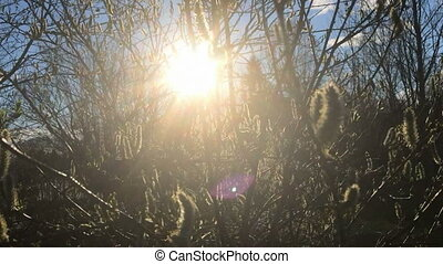 the sun shines through branches of a willow, with spring...
