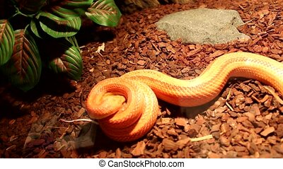 Snake attack a brown mouse - Red / Orange albino Snake...