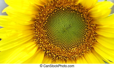 Yellow bright Sunflower and bee close up shot