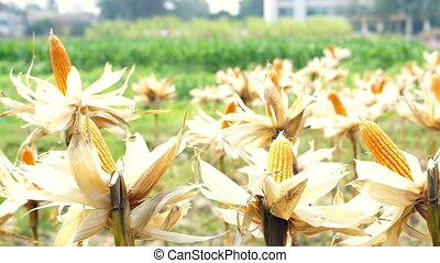 Corn field, Corn Cob Left Dry For Cattle Feed