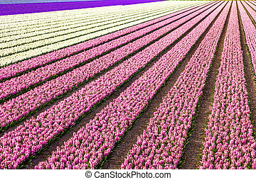beautiful blooming fields of hyacinthus in Holland