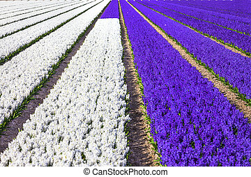 beautiful rows of blooming Hyacinthus in Holland