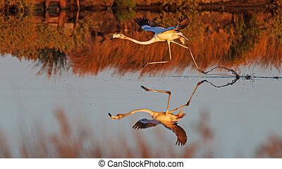 flamingos flies over the water
