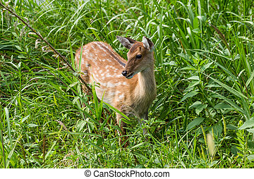 Young Roe-deer in the wild