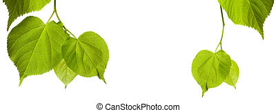 Green tilia leaves with copy space - Green tilia leaves...