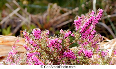 Pink heath with insects in background