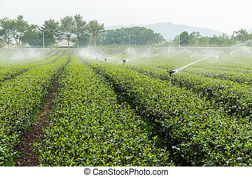 Tea plantation with cloud in asia