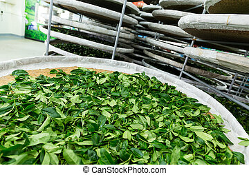 fermentación, de, té,