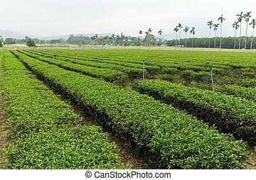 Green tea plantation in TaiWan