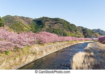Sakura tree and river