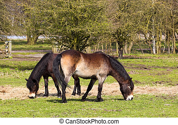 two exmoor ponies grazing in a field in springtime